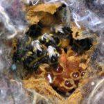 Das Foto zeigt das Nest eines Erdhummelstaats (B. lucorum). Es handelt sich um ein Volk im Nistkasten von Susanne Luft (© 2005). Das umgebende Material ist Polsterwolle, im Kern der Polsterwolle haben die Tiere eine faustgroße Höhle mit Wachs (braun) ausgekleidet, die für das Foto geöffnet wurde. Die Hülle isoliert und schützt das Nest mit seinen Zellen. © Susanne Luft