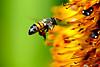 Biene sammelt Nektar und Pollen. Quelle & Lizenz im Text