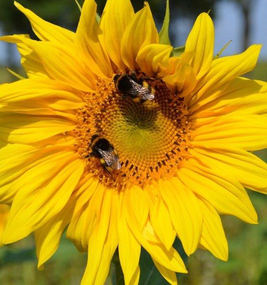 Eine Sonnenblume, die von zwei Erdhummeln besucht wird. U. a. geht es in diesem Artikel um Sonnenblumen, deren Saatgut ab dem 1.3. nicht mehr mit Fiprinol, einem gefährlichen Insektizid, behandelt werden darf. Foto: Willi Hennebrüder BUND Lemgo.