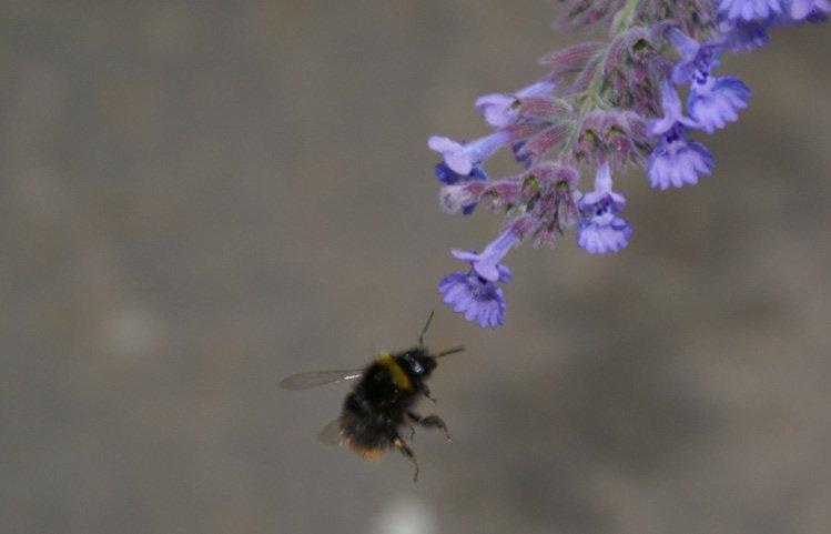 """Die Blüte voraus - für das """"Hummelgehirn"""" nichts weiter als ein willkommenes, stehendes und größer werdendes Objekt im Gesichtsfeld."""