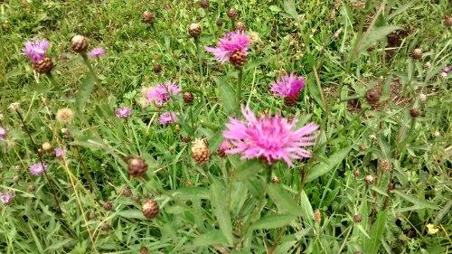Flockenblumen-Arten, Centaurea spec.: Mehr als 10% aller Blütenbesuche zum Nektarsammeln entfielen auf die Flockenblumen.
