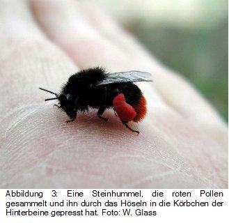 Hummeln brummen durch Vibrationssammeln und sammeln Pollen, der dann durch Höseln an die Hinterbeine gelangt.