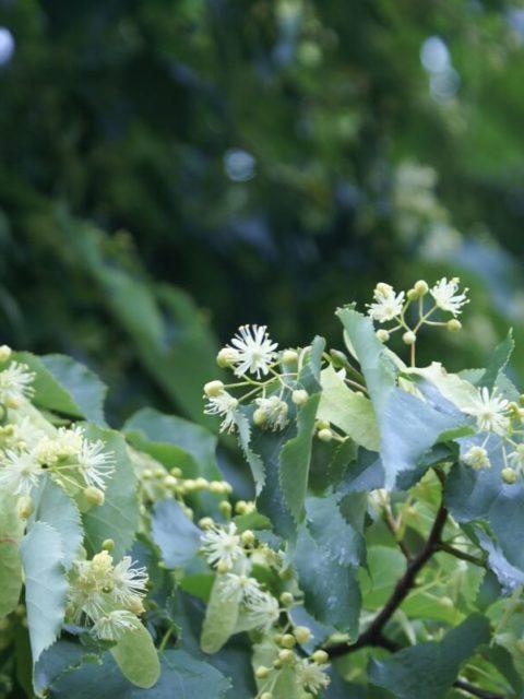 Blühende Linde mit Aufnahme der Blüte.