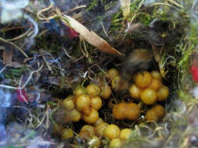 Nur drei Wochen später ist das Ackerhummel-Nest viel größer.