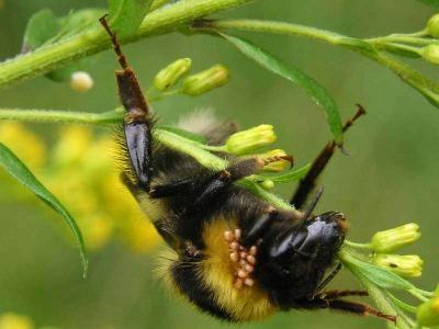 Die Milben sind gut zu erkennen an der Hummel.