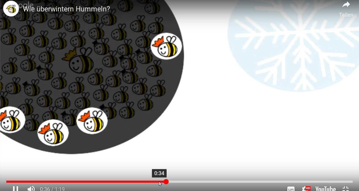 Ein Screenshot aus dem Video. Es zeigt viele tote Hummeln und einzelne Jungköniginnen, die überwintern. Das Video ist darunter.