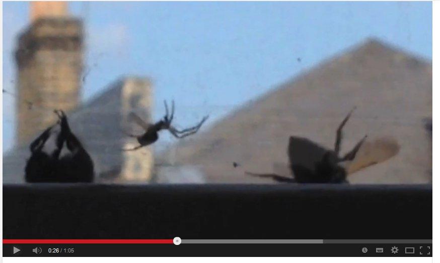 Video: Hummel im Netz einer Spinne