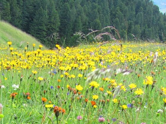 Mehr Nahrung für Hummeln: Blütenreiche Wiese