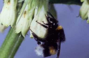 Hummel an Beinwell-Blüte