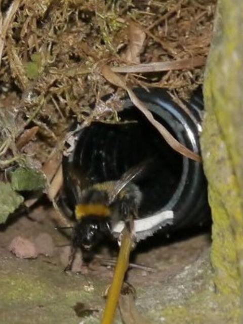 Man sieht einen schwarzen Schlauch, der mit Moss getarnt ist und aus dem eine Hummel heraus krabbelt - der Beweis, dass im Kasten ein Nest ist.