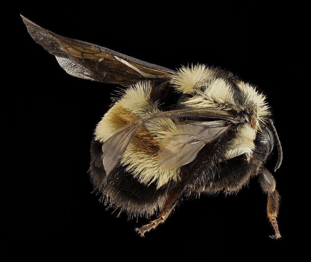 Bombus affinis