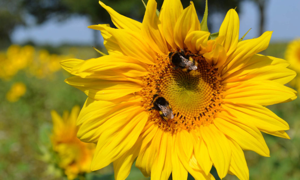 Nektarreiche Sonnenblumen: Hummeln sammeln Nektar, keinen Pollen.