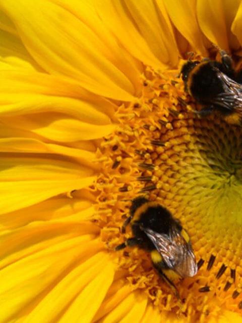 Konkurrenz durch Bienen: Hummeln ziehen den Kürzeren