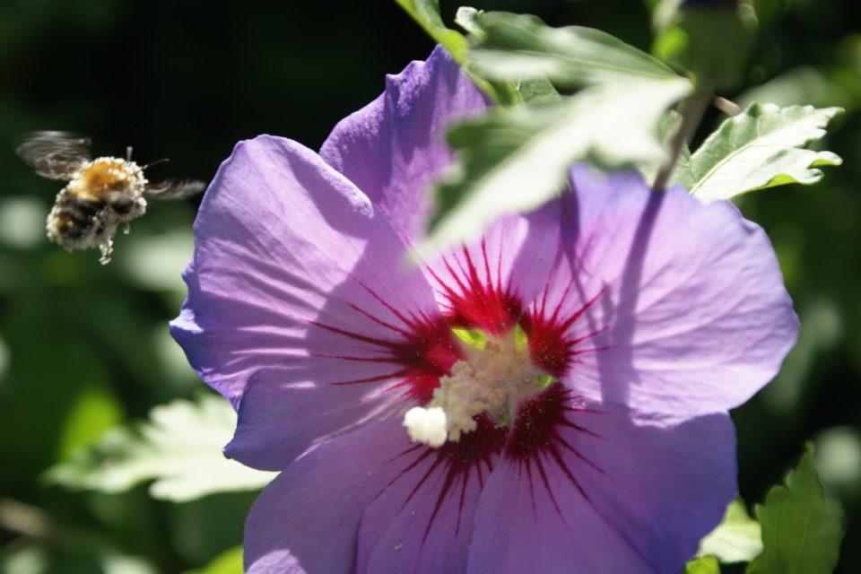 Ackerhummel und Hibiskusblüte