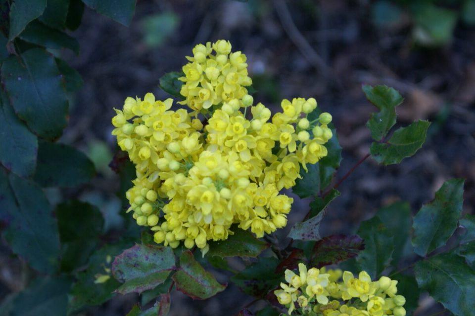 Mahonie mit gelber Blüte, Blüte in Nahaufnahme.