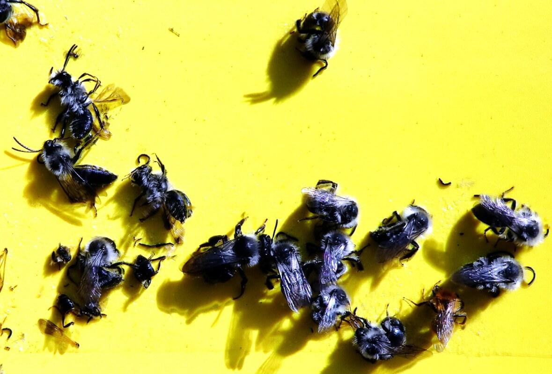 Tote Hummeln auf einer der Gelbtafeln