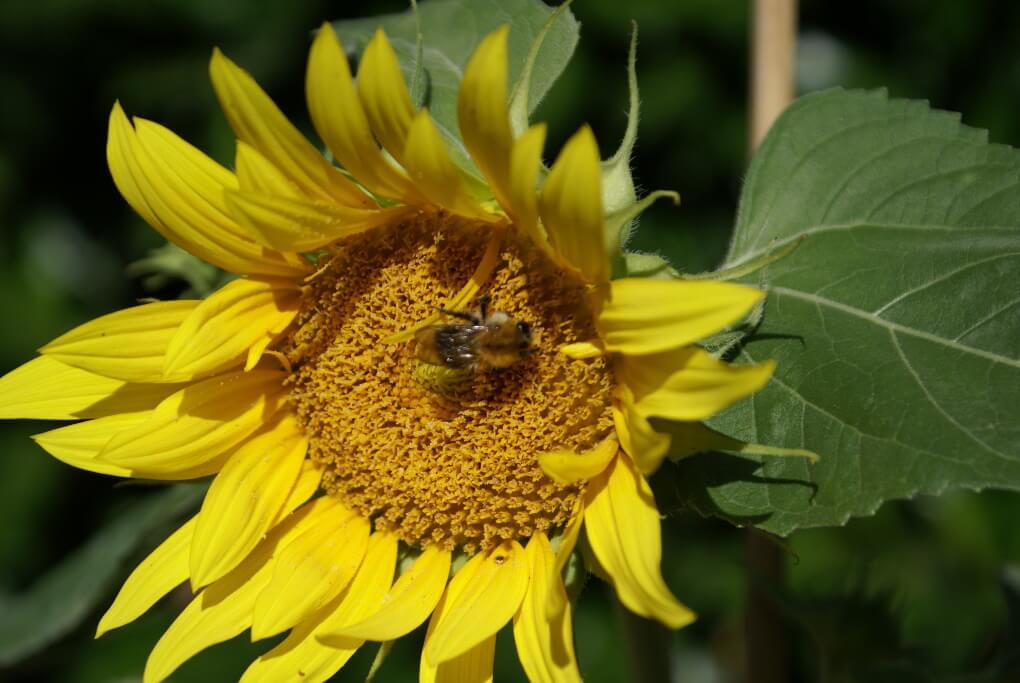 Sonnenblume mit Ackerhummel.