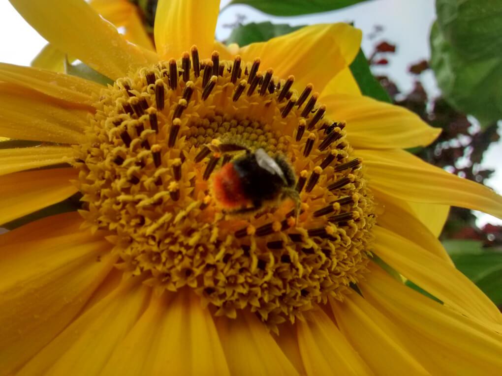 Sonnenblume mit Steinhummel.