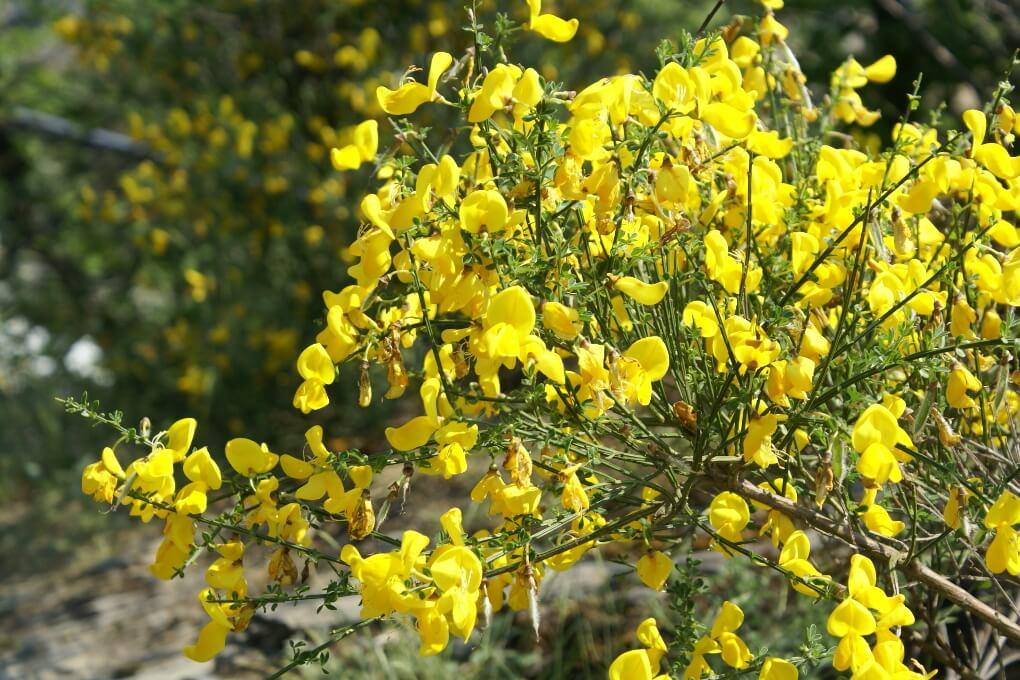 Besenginster, der durch invasive Hummeln verbreitet wird.