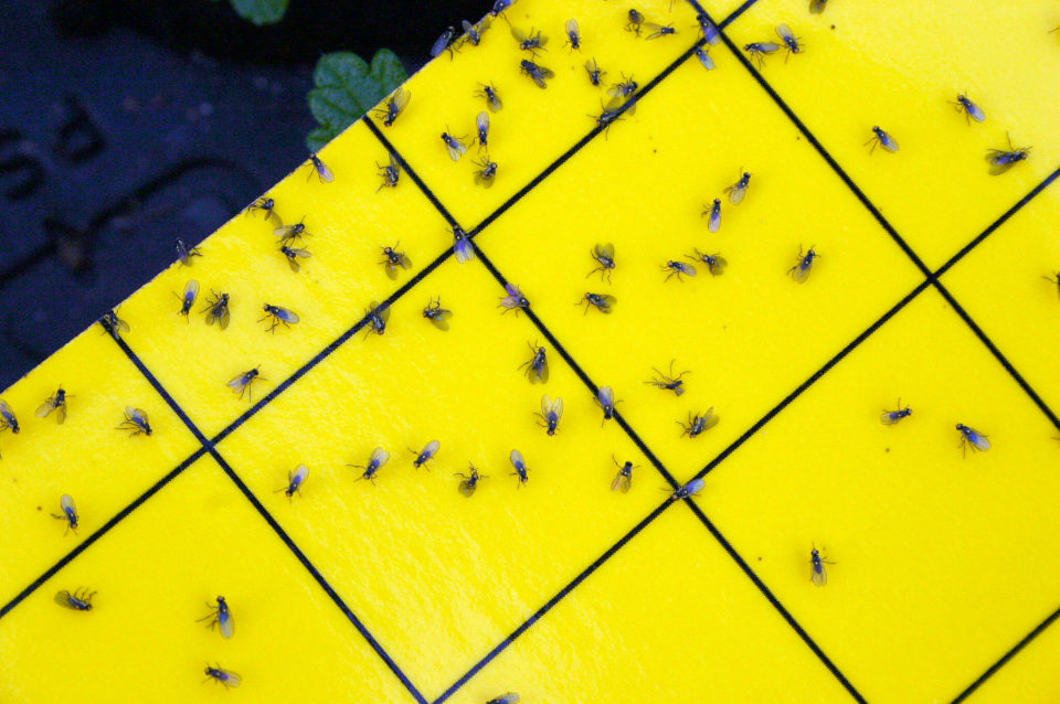 Leimfalle, ganz ohne Insect Respect