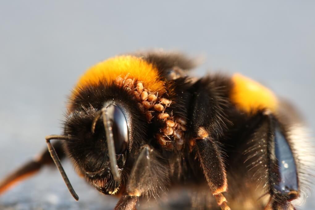 Hummeln Milben: Einige in Kopfnähe befindliche Milben an Königin der Dunklen Erdhummel.
