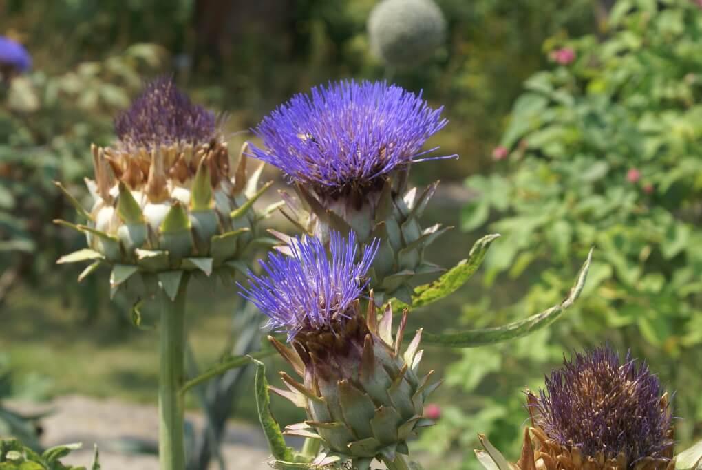 Blütenstände der Artischocke.