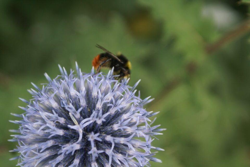Blüht in Schrebergärten: Steinhummel auf Edeldistel