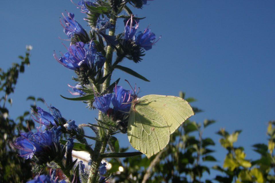 Natternkopf, Echium vulgare mit Insekten: Schmetterling, Zitronenfalter