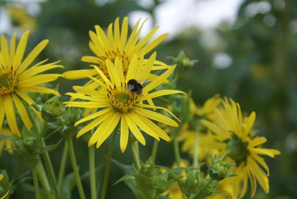 Silphie Blüte mit Nektar tankender Hummel