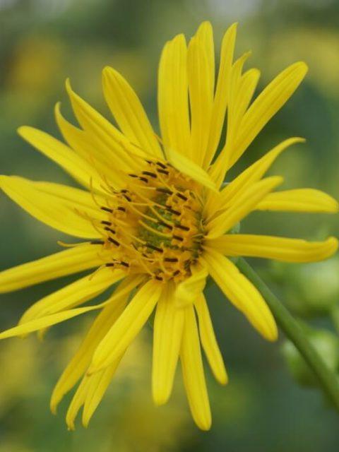Blüte der Silphie