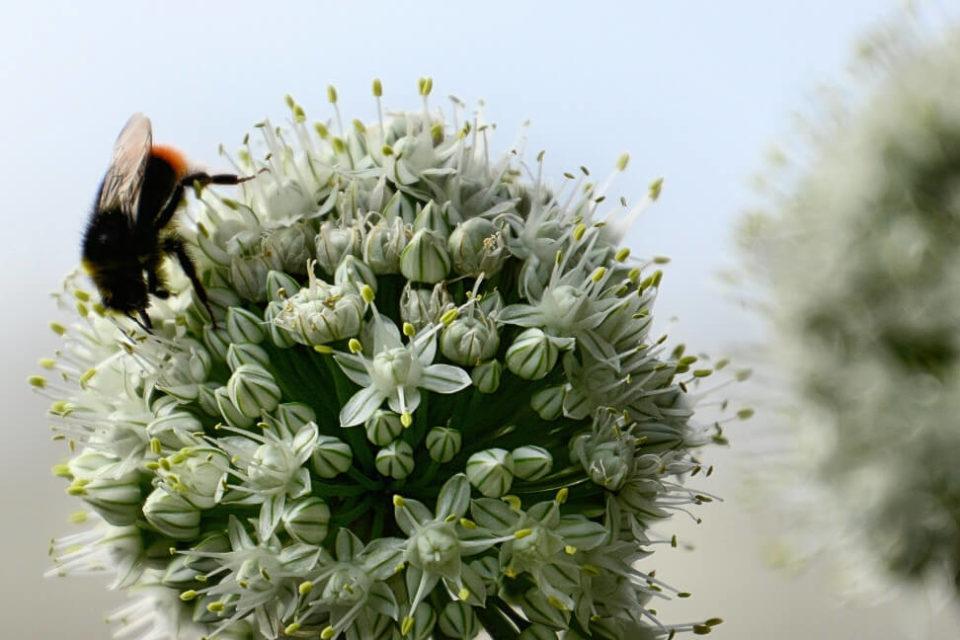 Ziebel Küchenzwiebel Blüte