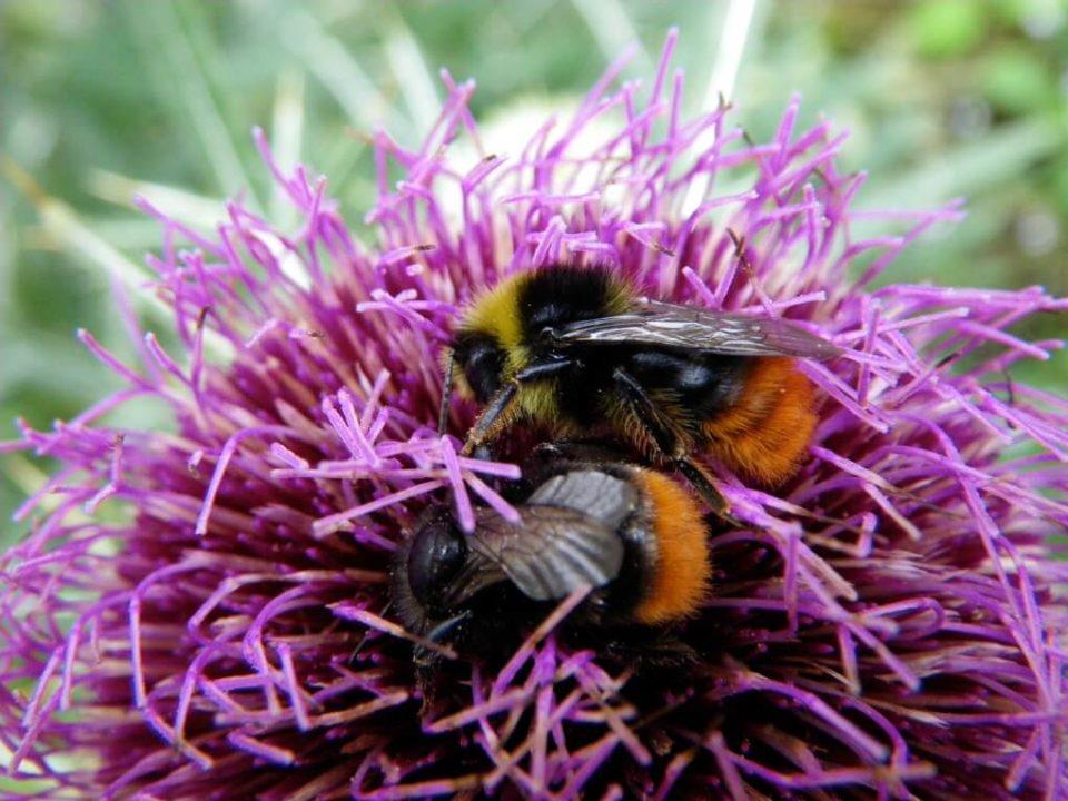 Steinhummel-Männchen und Weibchen. Das Steinhummel-Weibchen ähnelt auf den ersten Blick der Mauerbiene, was beim Insekten-Monitoring Probleme bereiten könnte.