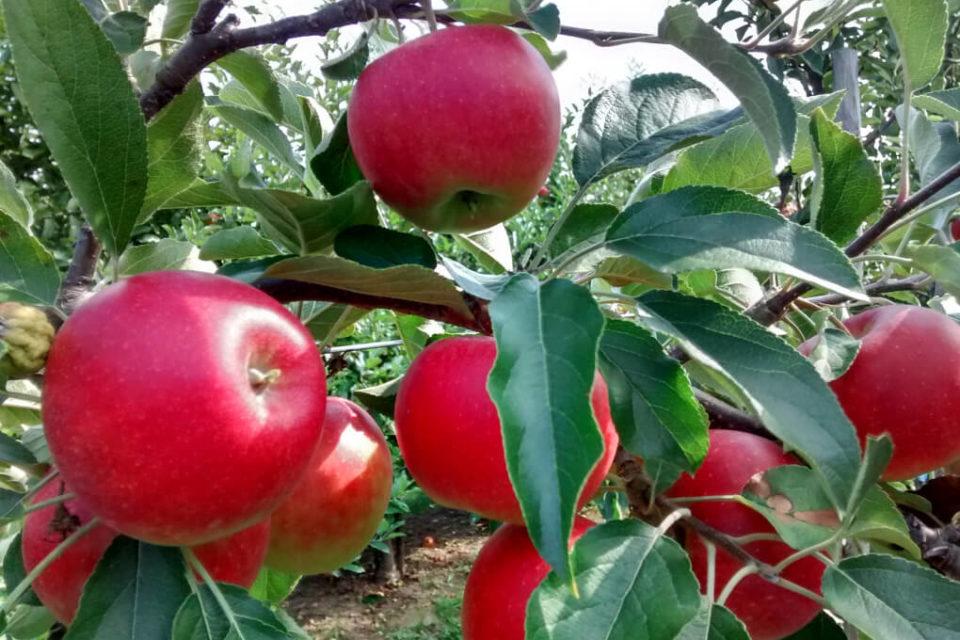 In Schrebergärten häufig: Äpfel an einem Apfelbaum