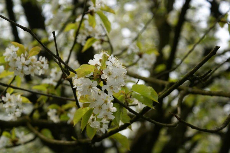 Kirschbaum mit weißen Blüten