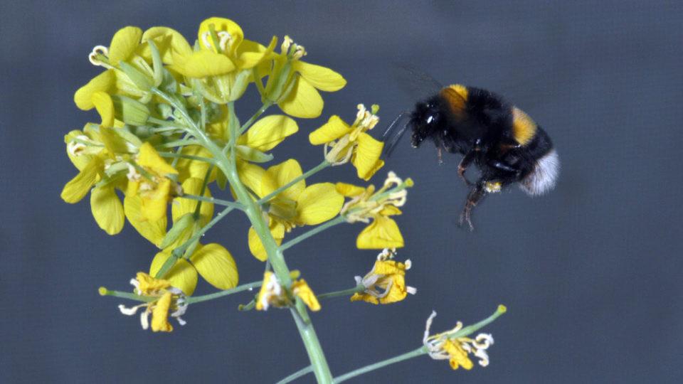 Dunkle Erdhummel an Rübsen. Durch rapid evolution haben die Pflanzen größere und duftendere Blüten.