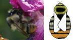 Eine Hummelart: Die Waldhummel